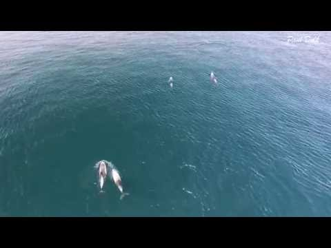 DRONE video of WHITE-BEAKED DOLPHIN MOTHERS AND CALVES