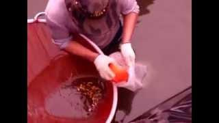 Arowana Fish Farming