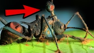 10 Zombie Organisms In Nature thumbnail