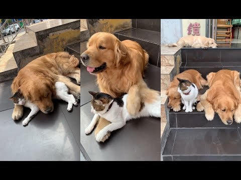 🐶Two golden retrievers VS 😻cute pet cat   Daily lives of dogs and cats
