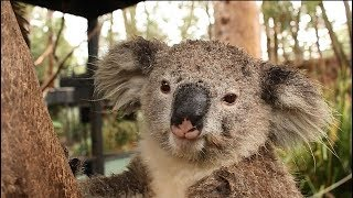 SAVE THE KOALAS!!