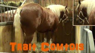Cheval Trait Comtois - Equus caballus - Linnaeus, 1758 - Salon de l'Agriculture 2015 - 03/2015
