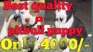 Best quality pitbull female puppy in low price buy karne ke liye call kare