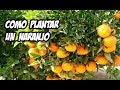 Cómo Plantar un Naranjo en el Huerto   La Huerta de Ivan