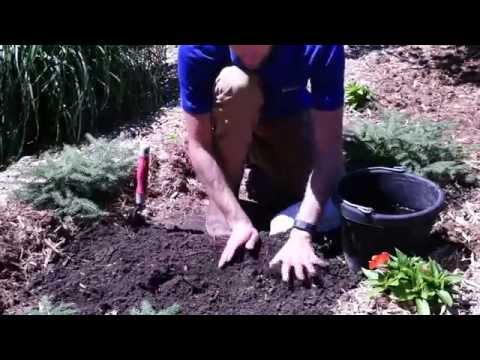 How to Plant Dicentra: Bleeding Heart
