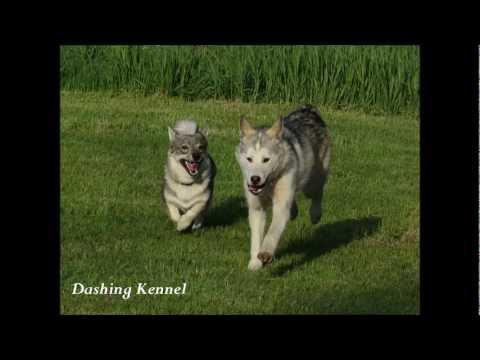 The husky and the vallhund