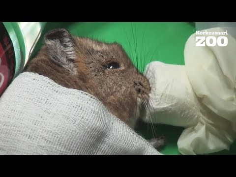 Helsinki Zoo´s Short-Eared Elephant Shrew in veterinary examination 2017