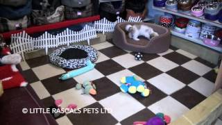 Little Rascals Uk Breeders New Litter Of Cavapoochon Girl - Puppies For Sale UK