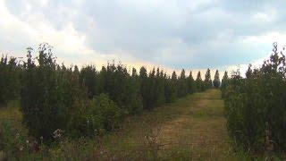 Выращивание кизила и сливы в фермерском хозяйстве