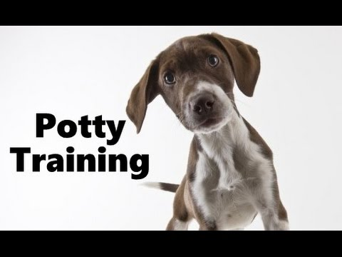 How To Potty Train A German Shorthaired Pointer Puppy – Training German Shorthaired Pointer Puppies