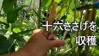 ささげ収穫【2020年8月】