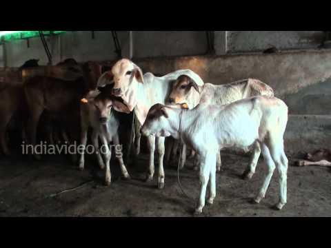 Dairy Farm near Hisar, Haryana
