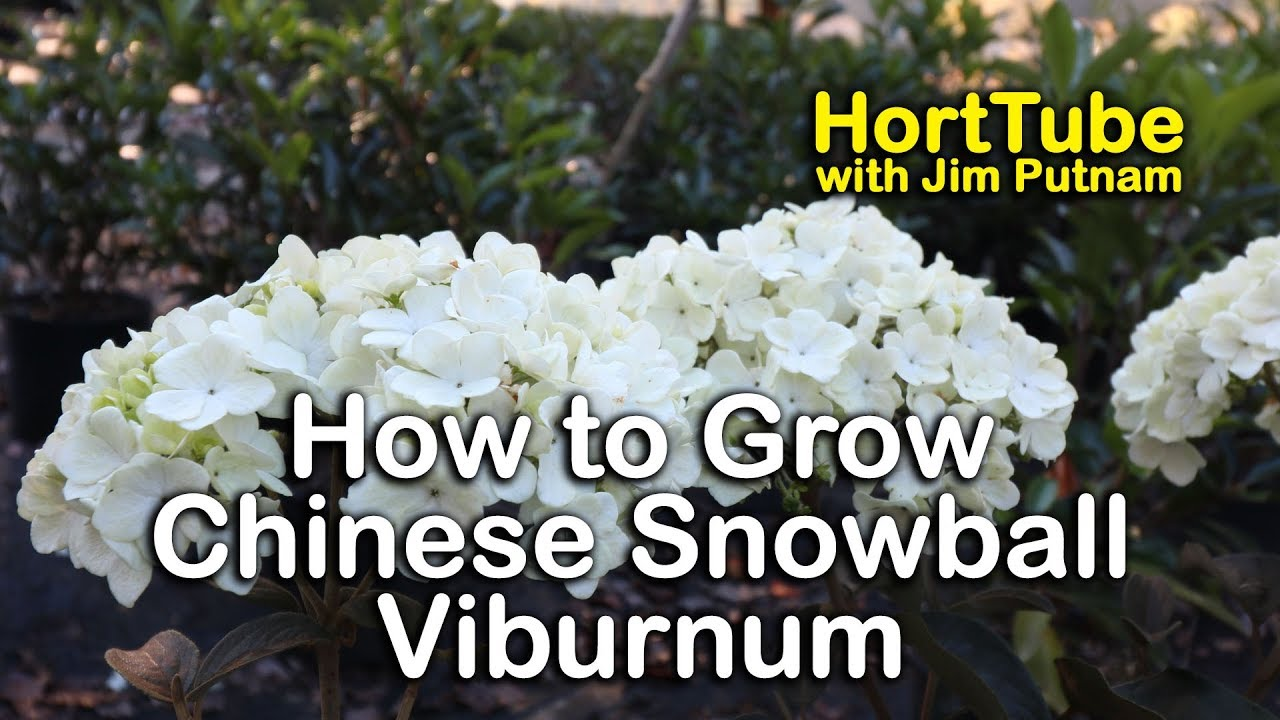 How To Grow Chinese Snowball Bush Viburnum Macrocephalum Youtube