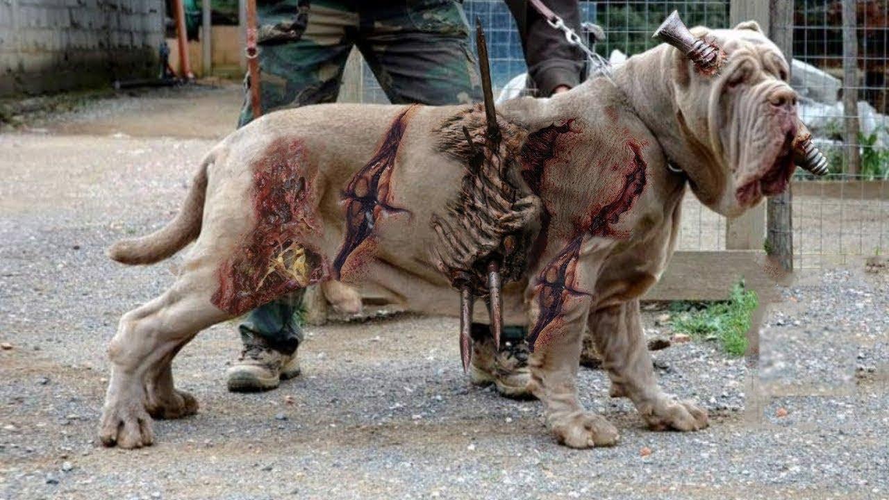 दुनिया के 12 सबसे ख़तरनाक कुत्ते जिसे पालने पर प्रतिबंध लग चुकी है | 12 Most ILLEGAL Dog Breeds