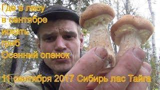 Поход в лес за грибами опятами и лисичками 11 сентября 2017 Сибирь тайга природа охота сбор грибов