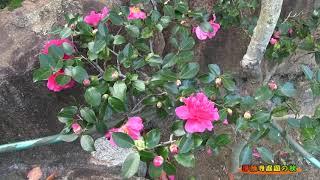 紅葉の淨願寺庭園