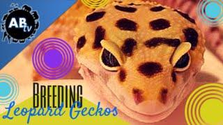 Leopard Gecko Breeding: SnakeBytesTV : AnimalBytesTV
