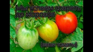 Как добиться созревание всех томатов до мороза.