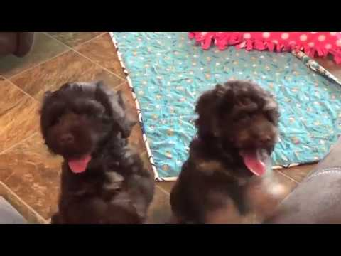 Holly, Heather and Helen chocolate brown cockapoo pups from www.KingdomDogs.com