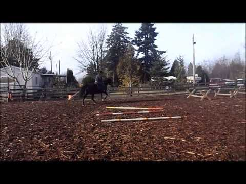 Dixie- Tennesse Walker Mare