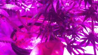 220W LED Cannabis Grow - 43 days FLOWERING update - Granddaddy Purple & Bubba Kush