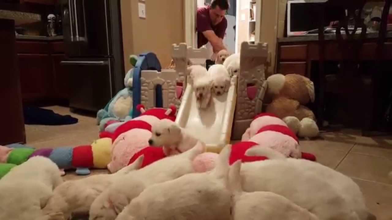 ゴールデンレトリバー犬の赤ちゃんが次々と降りてくる滑り台。一体何匹いるの?