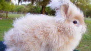 Ангорский кролик - внешний вид, породы ангорского кролика.
