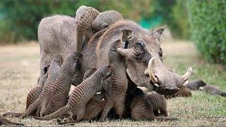 10 Потрясающих Симбиозов Животных