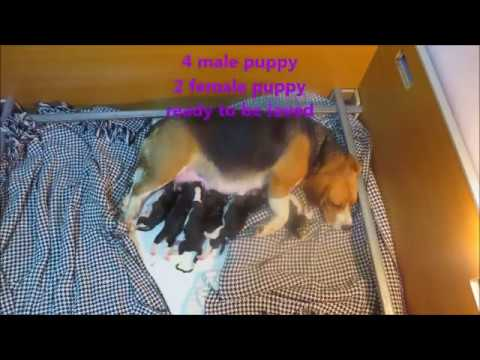 Real Time Beagle Give Birth for Very First Time (INU)