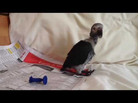 Baby Timneh African Grey Parrot trying to talk