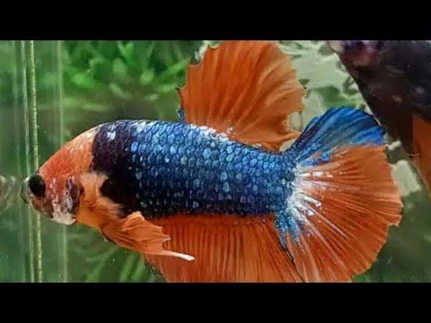 Jenis Ikan Cupang Avatar 2020 Youtube