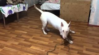 собака убийца БУЛЬТЕРЬЕР!!!
