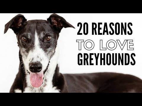 20 Things I Love About My Greyhounds
