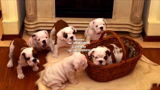 Английские бульдоги, щенки.Самое милое видео. продажа