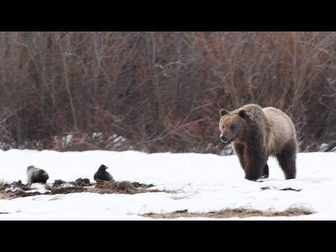 With their population expanding, can Yellowstone grizzlies co-exist with humans?