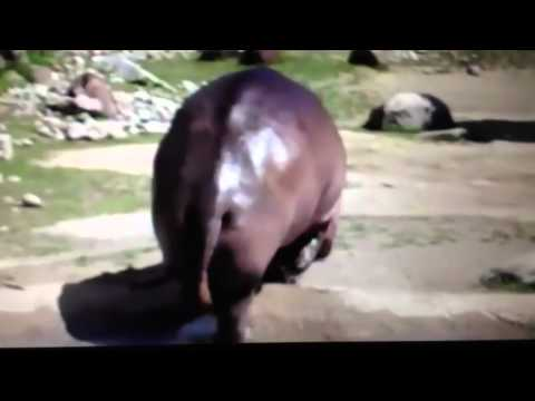 Farting hippo try not to laugh