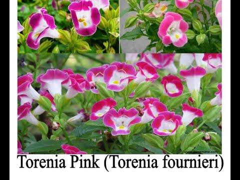 Torenia Pink (Torenia