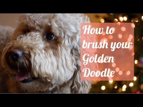How to brush your Goldendoodle (Why does your doodle come home shaved?)