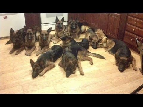 German shepherds having fun