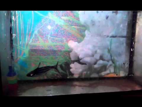 poisson requin d 39 aquarium youtube. Black Bedroom Furniture Sets. Home Design Ideas