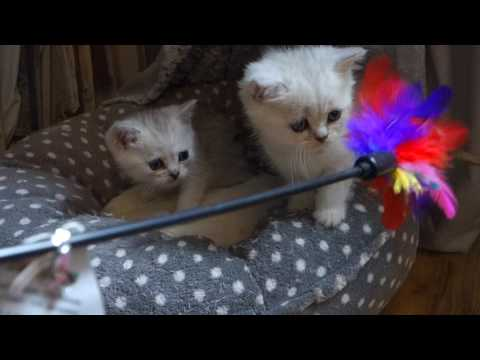 6 week old British Shorthair Silver tipped kittens playing