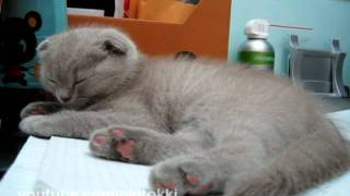 Pudding Sleeping On Books - Cute Scottish Fold Kitten