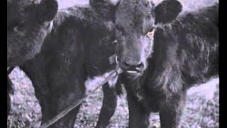 Triplet Calves In Eastwood 1936