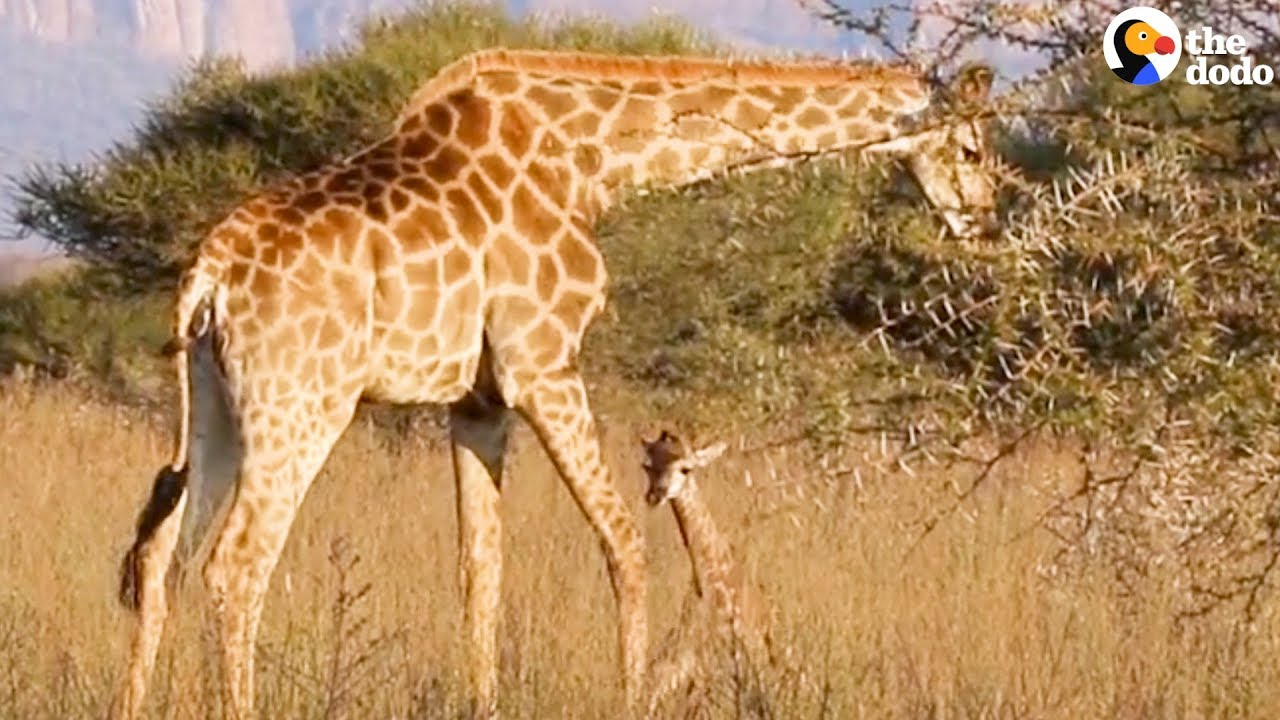 Baby Giraffe Takes His First Steps Minutes After He's Born | The Dodo