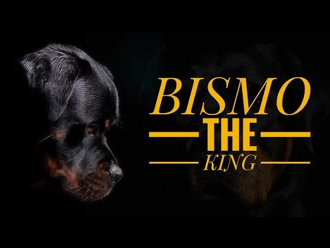 BISMO : The Champion Dog Of Hyderabad | Imported Rottweiler From Serbia | HYD Pet Entertainment