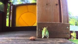 Скачать Good Morning Cicada
