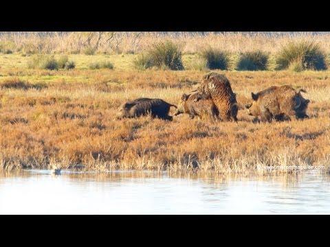 Wild Boar in Maremma Tuscany
