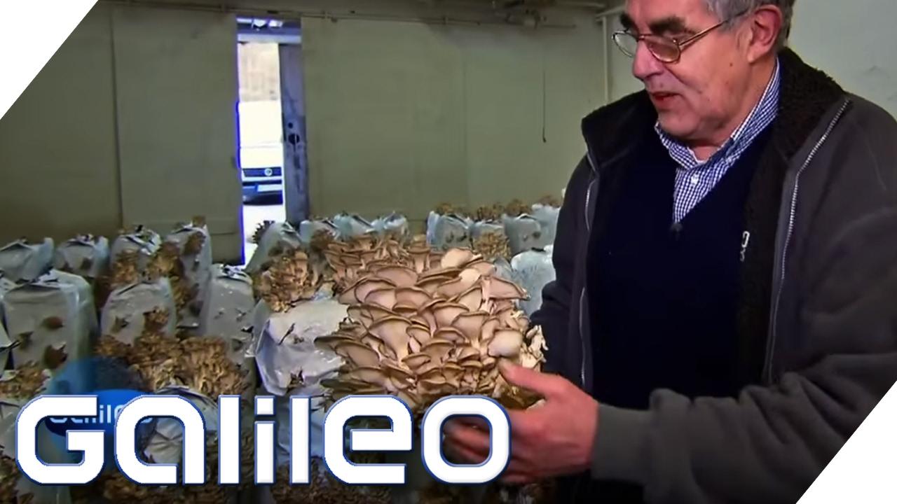 Austernpilze aus dem Bunker | Galileo Lunch Break