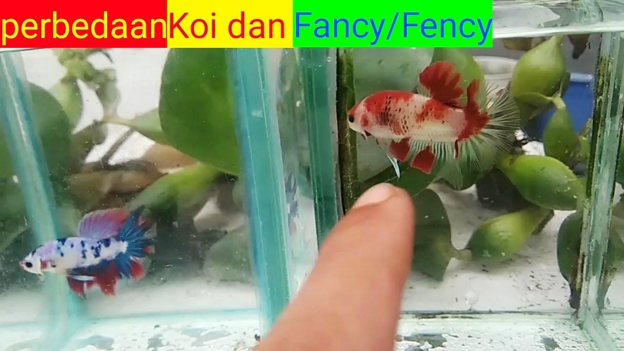 Apa Bedanya Ikan Cupang Koi Dengan Fancy Youtube