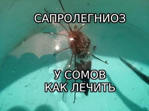 Клариевый сом заболел. Лечение сапролегниоза у рыб.